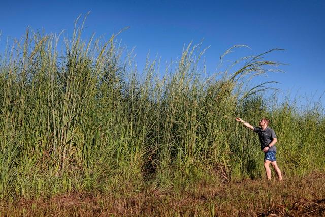 Gamba grass field